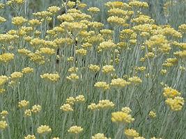 Helichrysum background