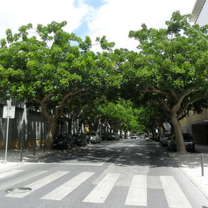 Erythrina caffra shade trees