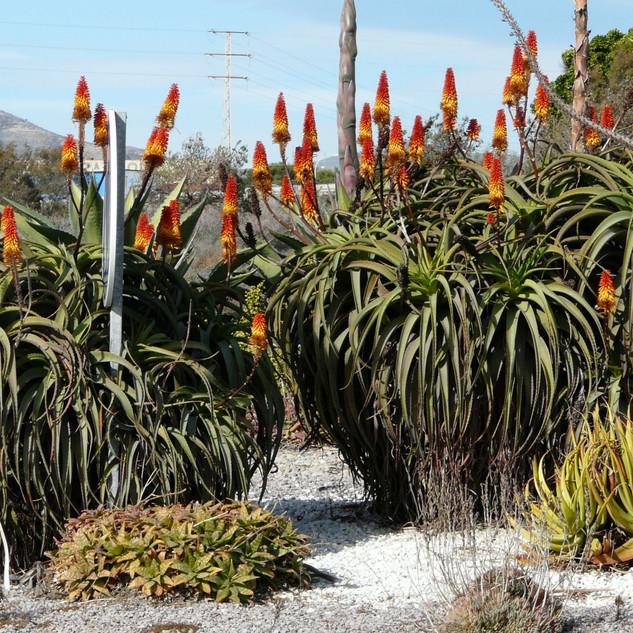 Aloe arborescens x spectabilis