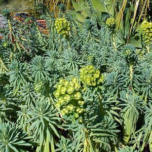 Euphorbia subsp. wulfenii