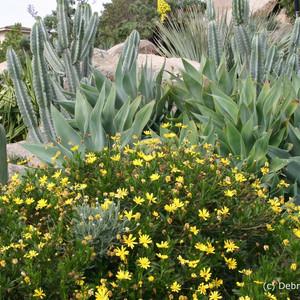Euryops, Agave attenuata and Cereus cactus.