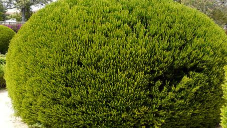 Myrtus communis clipped bush.jpg