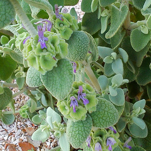 Ballota pseudodictamnus flowers