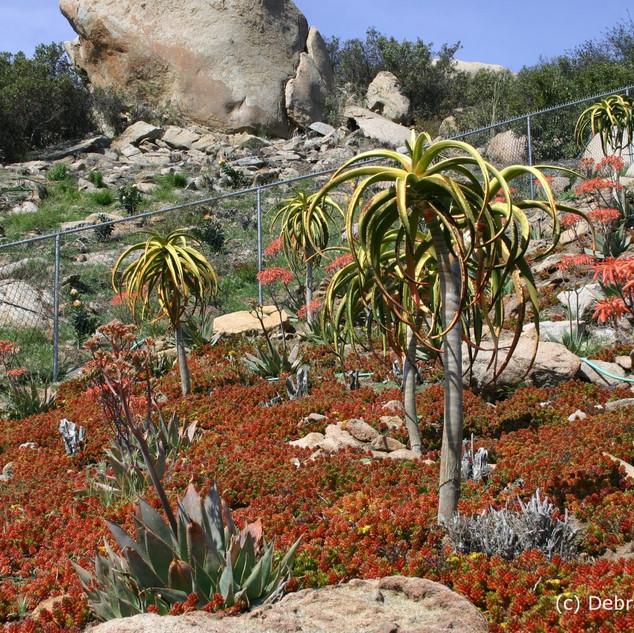 Aloidendron barberae, with Sedum rubrotintum