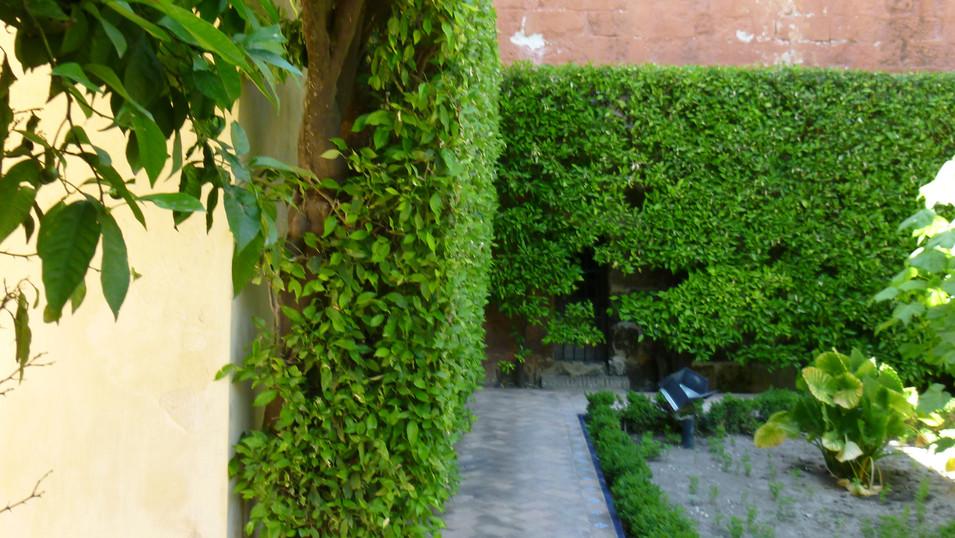 Citrus × aurantium hedge in courtyard