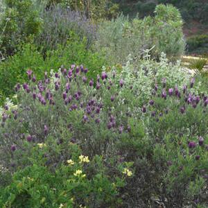 Mixed planting Lavandula, Coronilla and Ballota