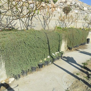 Drosanthemum floribundum on wall