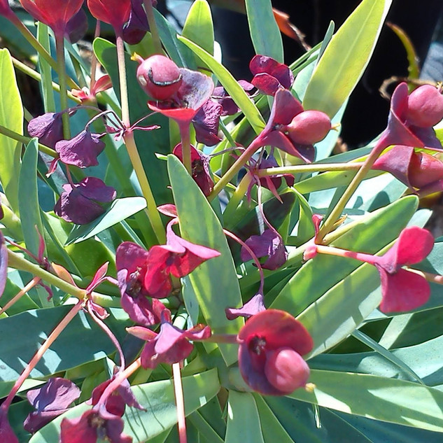 Euphorbia atropurpurea seed pods