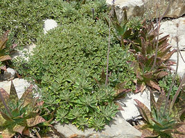 Ajania pacifica & Aloe maculata ground cover