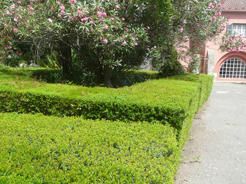 Myrtus hedges