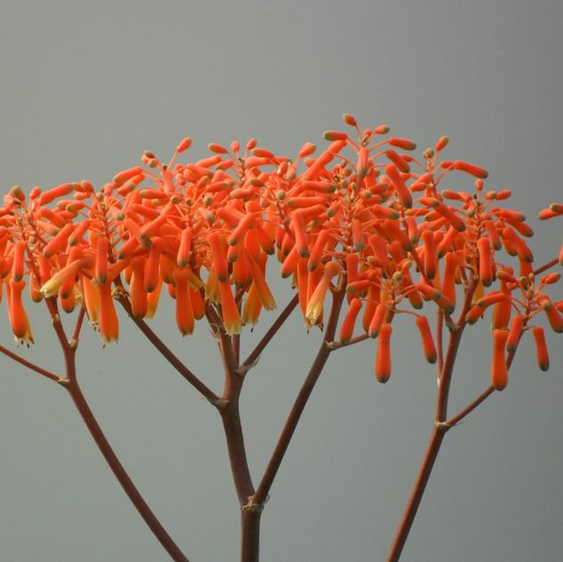 Aloe striata flowers