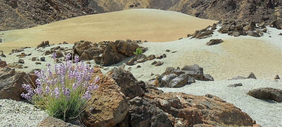 Tenerife landscape - Erysimum scoparium