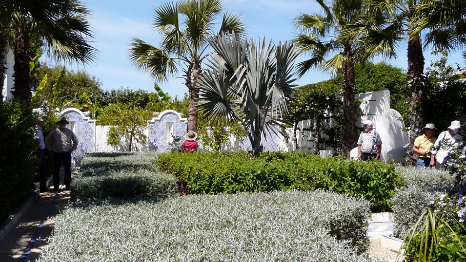 Teucrium fruticans hedge.jpg