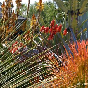 Euphorbia tirucalli 'sticks on Fire'.