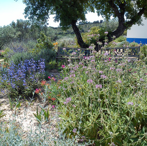 Mixed planting of Phlomis, Salvias and Teucrium