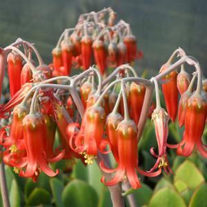 Cotyledon orbiculata var. oblonga 'Macrantha'
