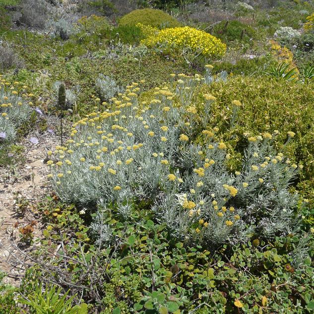 Helichrysum stoechas
