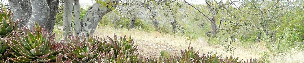 Aloe x nobilis in Afarroba park land