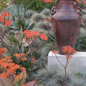 Aloe striata and blue fescue