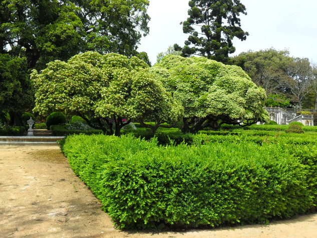 Pittosporum tobira in tree form