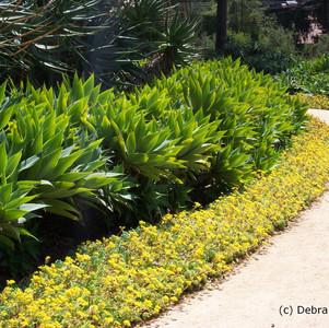 Agave attenuata and Sedum pachyphyllum.