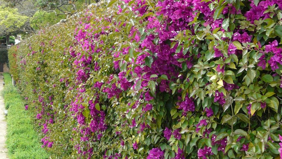 Bougainvillea hedge - Jardim Ajuda.jpg