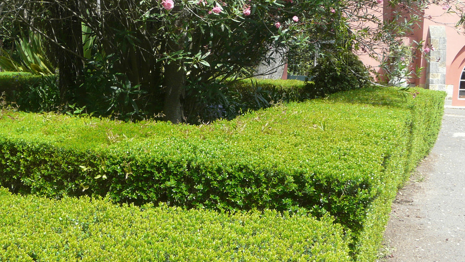Mytrus communis var microphylla hedge.jp