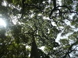 Jardim Botânico Tropical, Lisboa. Ceiba canopy