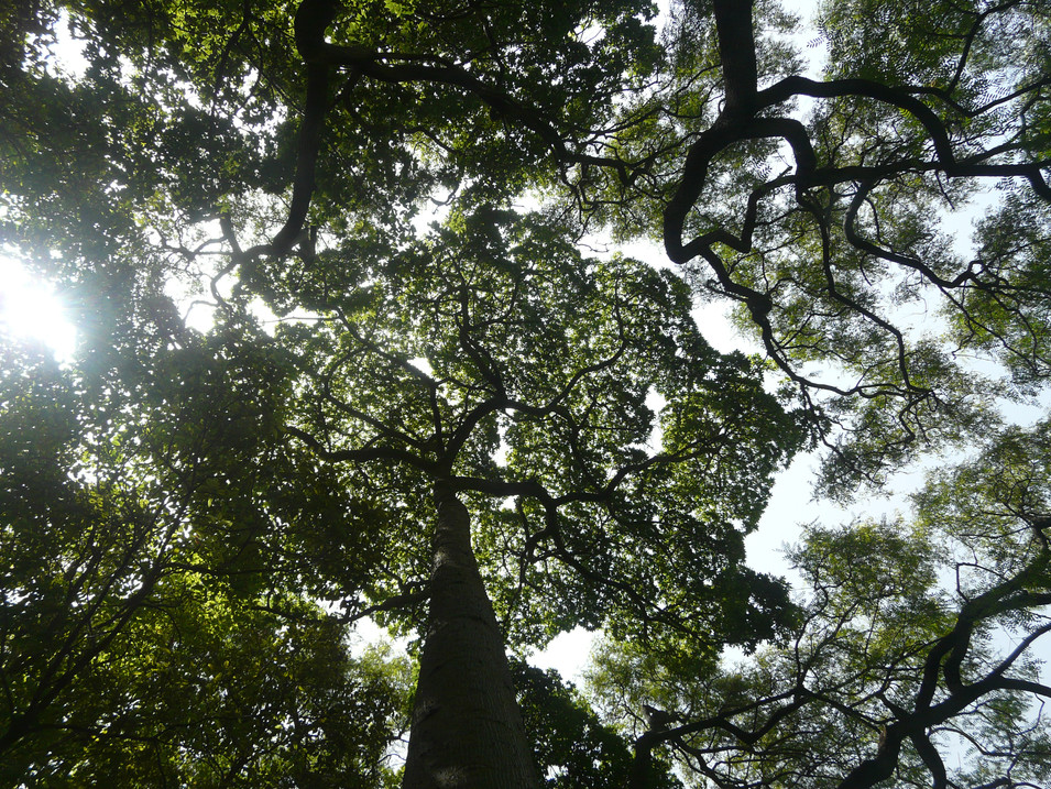 Canopy of Silk Floss trees