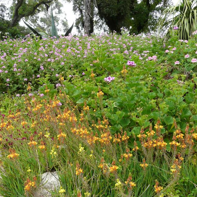 Bulbine fruticans 'Hallmark' and Pelargoniums