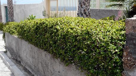 Portulacaria afra clipped hedge.jpg
