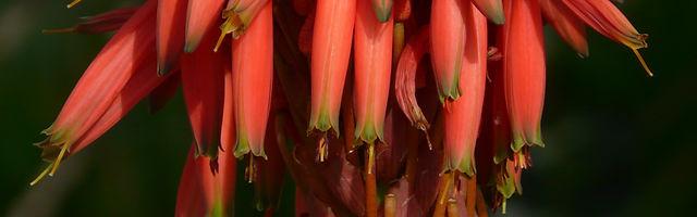 Aloe arborscens flower close up