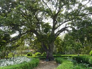 Jardim Ajuda shade tree