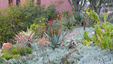 Ground cover pierced by Aloes