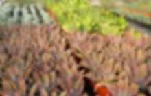 Echeverias in production.jpg