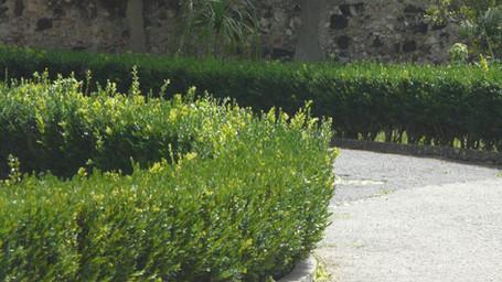 Myrtus hedge.jpg