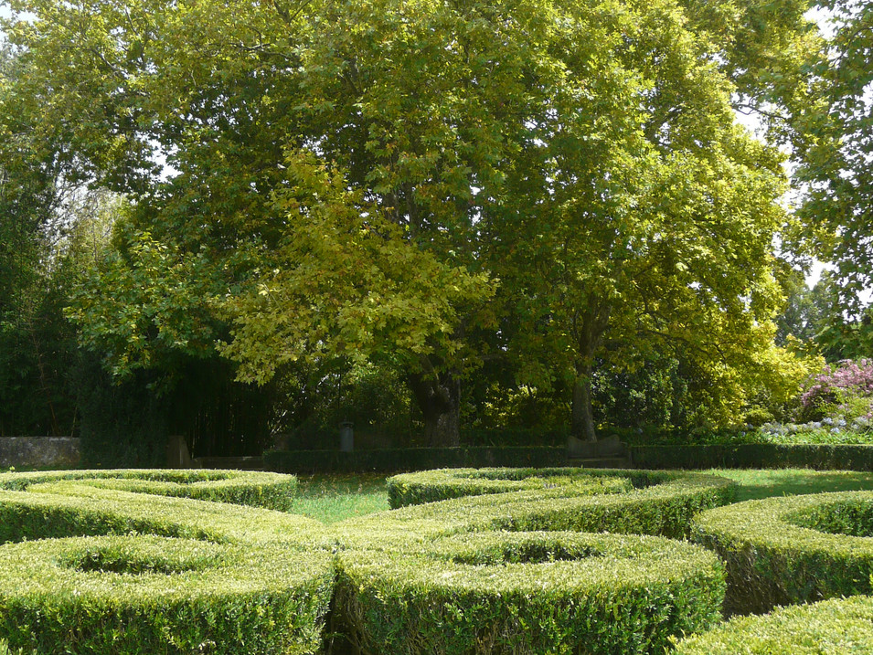 Buxus hedges