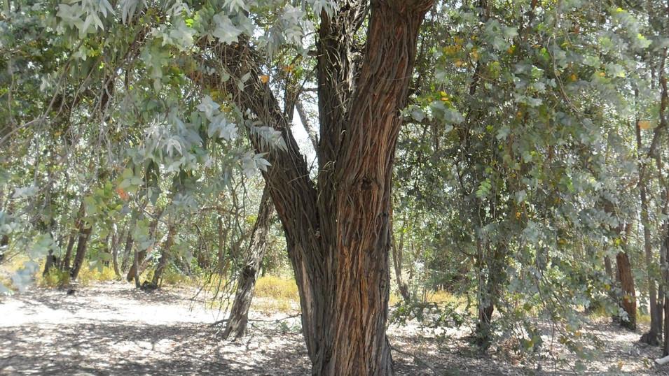 Eucalyptus arboretum - Huelva