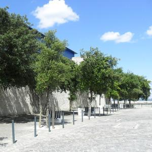 Quercus suber in paving