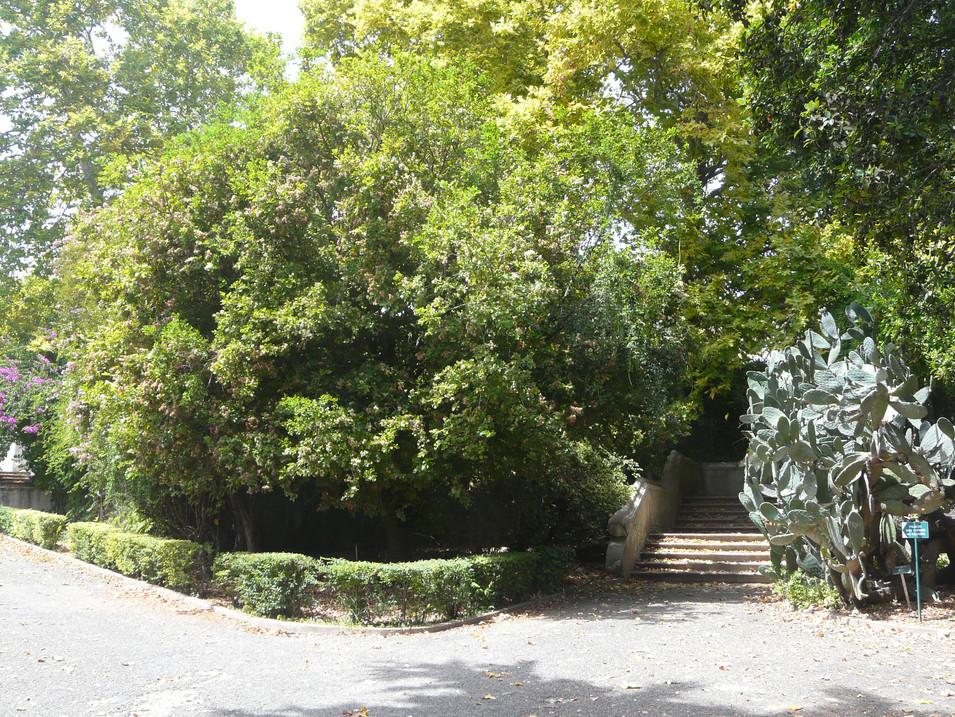 Schotia latifolia