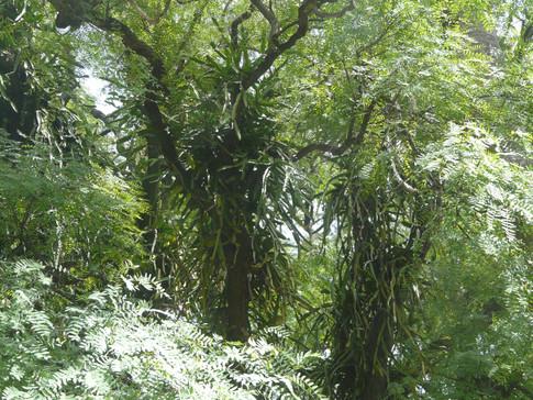 Tree cactus - Hylocereus undatus