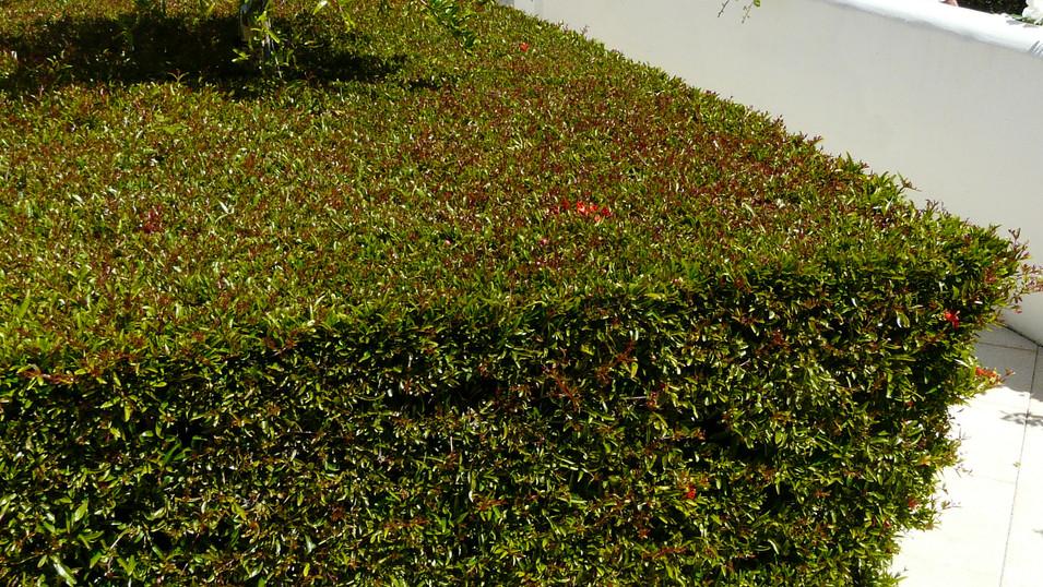 Punica granatum var. nana nice hedge.jpg