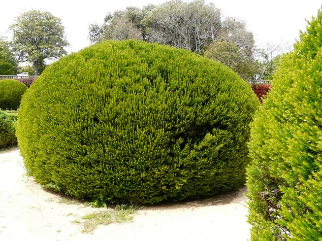Myrtus tarrentina