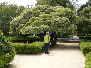 Pittosporum tobira flowering
