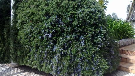 Salvia rosmarinus clipped.jpg