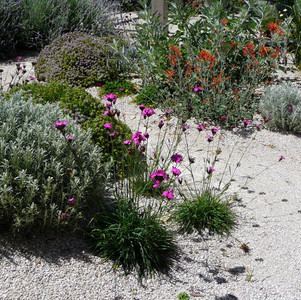 Dianthus carthusianorum and Dicliptera suberecta