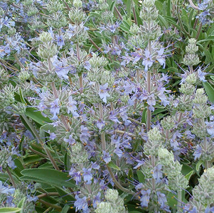 Salvia x 'Bee's Bliss'