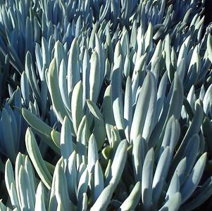 Curio talinoides var. mandraliscae 'Chalk Sticks'