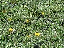 Dymondia margaretae close up