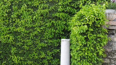 Citrus × aurantium hedge